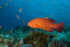 Coral grouper Royalty Free Stock Image