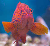 Coral grouper 2 Royalty Free Stock Image