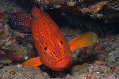 Coral Grouper. A resting Coral Grouper at a dive site in the Maldives Stock Photography