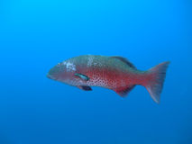 Coral Grouper Royalty Free Stock Photos