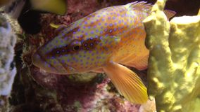 Coral grouper Cephalopholis miniata fish underwater Red sea. Tropical marine animals live in reefs with clear water. Relax video about nature on background of stock footage