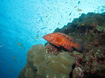Coral grouper stock photography