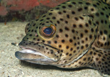 Coral grouper close up. Royalty Free Stock Images