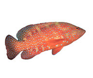 Coral Grouper fish Royalty Free Stock Photos