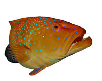 Coral Grouper fish Royalty Free Stock Image
