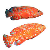 Coral Grouper fish Stock Photo