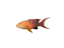 Coral grouper fish on white Royalty Free Stock Photo