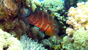 Coral grouper in the Red Sea of Egypta Stock Photos