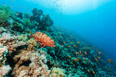 Coral Grouper on a reef. A Coral Grouper swims around a coral reef royalty free stock image
