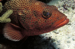 Coral grouper Royalty Free Stock Photography