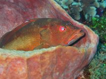 Coral Grouper Sitting In A Sponge Stock Images