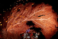 Coral, Guiné de Papua Nuova Fotos de Stock