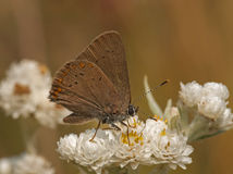 Coral Hairstreak Royalty Free Stock Photo