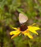 Coral Hairstreak on Black-eyed Susan Royalty Free Stock Image