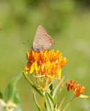 Coral Hairstreak Butterfly Royalty Free Stock Photos