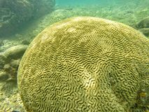 Brain shaped Coral stock photo
