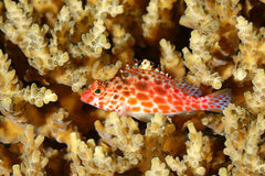 Coral Hawkfish, Cirrhitichthys oxycephalus Royalty Free Stock Images