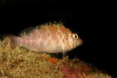 Coral Hawkfish Kapalai ö, Sabah Royaltyfri Foto