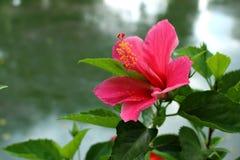 Coral Hibiscus Flower para el fondo imagen de archivo