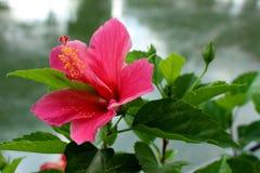 Coral Hibiscus Flower para el fondo fotos de archivo