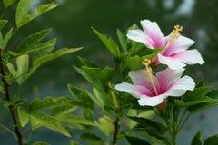 Coral Hibiscus Flower pour le fond Photos libres de droits