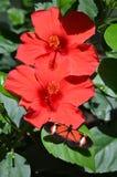 Coral Hibiscus y mariposa Imágenes de archivo libres de regalías
