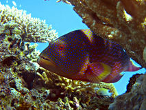 Coral hind royalty free stock images