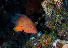 Coral hind Cephalopholis miniata on the reef. royalty free stock photo