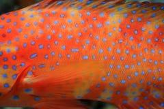 Coral hind grouper (Cephalopholis miniata) Royalty Free Stock Photos