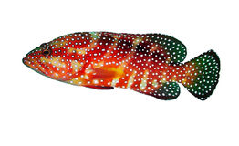 Coral hind grouper Stock Photos