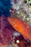 Coral hind in the Red sea. Stock Image