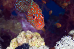 Coral hind in the Red Sea. stock photography