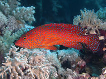 Coral hind. In red sea royalty free stock image