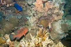 Coral hind and Yellowbar angelfish Royalty Free Stock Photography