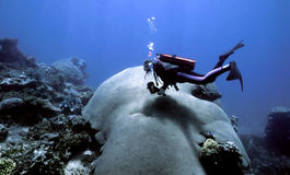coral indo spokojna Zdjęcia Royalty Free