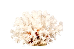 Pink dried coral isolated on white background Royalty Free Stock Photography
