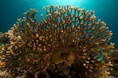 Coral líquido do incêndio no Mar Vermelho. fotografia de stock