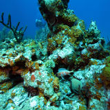 Coral Landscape colorida del mar del Caribe Fotos de archivo