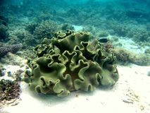 Coral Leather. A maldivian coral near to the reef. I think it's a coral leather Stock Image