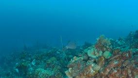 Coral life caribbean sea Bonaire island underwater diving  1080P video. Coral life underwater video 1080p Caribbean Sea stock footage