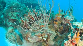 Coral life caribbean sea Bonaire island underwater diving  1080P video. Coral life underwater video 1080p Caribbean Sea stock footage