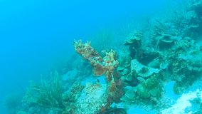 Coral life caribbean sea Bonaire island underwater diving  1080P video. Coral life underwater video 1080p Caribbean Sea stock video