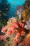 Coral life diving Indonesia Sea Ocean. Coral life underwater diving Indonesia Sea Ocean Royalty Free Stock Image