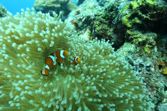 Coral life diving Pacific Ocea Royalty Free Stock Images