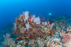 Coral life diving Papua New Guinea Pacific Ocea Royalty Free Stock Images