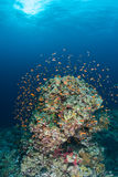 Coral life diving Papua New Guinea Pacific Ocea Stock Image