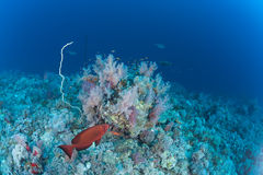 Coral life diving Papua New Guinea Pacific Ocea Royalty Free Stock Photo