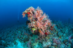Coral life diving Papua New Guinea Pacific Ocea Royalty Free Stock Photography