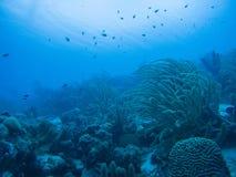 Coral life underwater diving safari Caribbean Sea Royalty Free Stock Photo