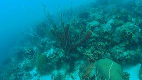 Coral life caribbean sea Bonaire island underwater diving  1080P video. Coral life underwater video 1080p Caribbean Sea stock video footage